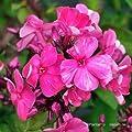 Flammenblume, Phlox paniculata 'Tenor' von VDG-Stauden bei Du und dein Garten