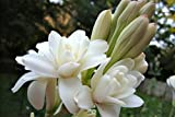 #9: Rajanigandha Tuberose Double Flowering Bulbs 5 Bulbs