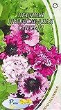 AGROBITS Graines de Petunia SUPERBISSIMA F1 en me-Punia × hybrida - 10 graines