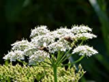 100 graines anis vert aromatique parfumée comestible plante mellifère parfais pour les tisane et sirop d'anis