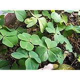 Las semillas de trébol Bonsai Plan de suerte al aire libre 100% verdadera semilla de trébol de cuatro hojas 100 PC / bolso Semillas de flor de la decoración del jardín Bonsai