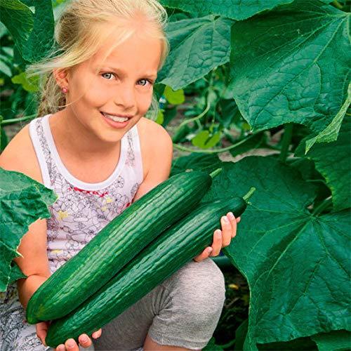 Qulista Samenhaus - Bio Gurkensamen Euphya F1 Ertragreich extralang | Gemüsesamen Winterhart mehrjährig, Zarte Schale, helles knackiges Fleisch