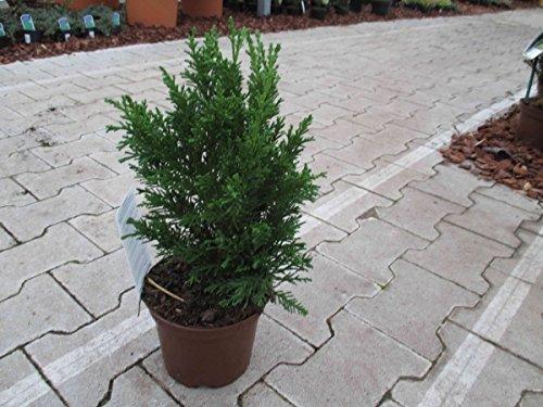 Muschel-Scheinzypresse Cham. obt. - Drath - sehr wertvolles Nadelgehölz - 20-30 cm