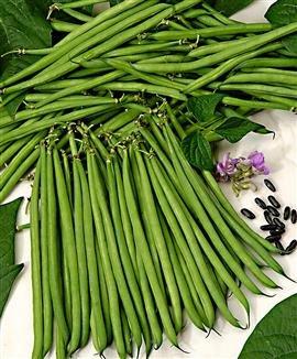 dwarf-french-bush-bean-nautica-150-seeds-superb-disease-resistance