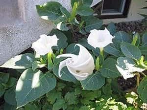 Arabischer Stechapfel Datura belle blanche Samen