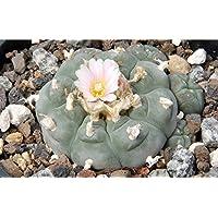 Asklepios-seeds - 50 Samen Lophophora williamsii, Peyote Kaktus, Peyotl