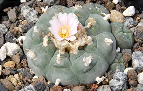 Asklepios-seeds - 250 Samen Lophophora williamsii, Peyote Kaktus, Peyotl