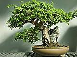 Portal Cool Chinesische Ulme! Frische Samen, Indoor Unsere Outdoor-Bonsai-Baum! Schnell wachsend!