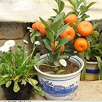 Vistaric 60 pcs/sac Vente Chaude En Pot De Fruits Arbres Délicieux Kumquat Graines Juicy Orange Bonsaï Mandarine Plante pour Balcon Patio Décor