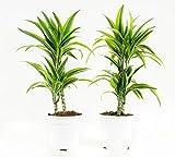 Grünpflanze - Dracaena fagans dermensis Lemon Lime