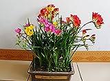 Semi di fresia, Freesia in vaso semi, semi di fiori Fresia, non i bulbi - 100 semi / bag 24 tipi + Secret Gift