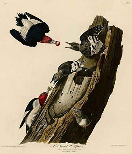 Spiffing Prints John James Audubon - Red Headed Woodpecker - Extra Large - Semi Gloss - Black Frame -