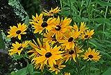 Shoopy Star 1pc: Lily FOREVER ampoule de floraison UAN Lily tubercule Lilium rhizome, pas Lilium EED