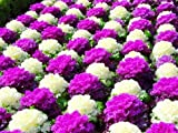 Pinkdose Brassica oleracea Erbstück Mixed Zierkohl 200PCS Blüte Kohl Nicht-GVO-Weiß Rot lila Farben Garten Bepflanzung: 6