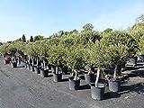 Olivenbaum Olive '20 Jahre' 160-180 cm, beste Qualität, winterhart, Olea