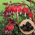 BigFamily 10 Teile / beutel Mehrjährige Kräuter Dicentra Pflanze Tränendes Herz Blumensamen Kreative von BigFamily bei Du und dein Garten