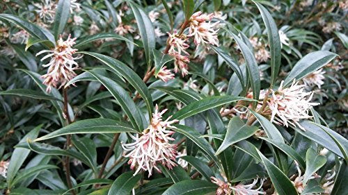 winter-flowering-scented-sarcococca-hookeriana-blue-christmas-box-shrub-1-year-old-plant