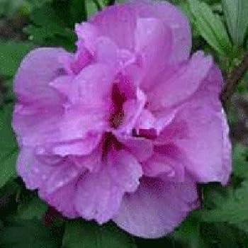 Hibiscus Syriacus Ardens 15cm Pot Size