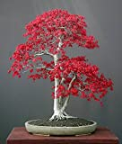 Acer palmatum - Japanese Red Maple - bonsai - 10 seeds