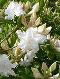 weiß blühende Garten Azalee Rhododendron luteum Whitethroat 60 cm hoch im 7,5 Liter Pflanzcontainer