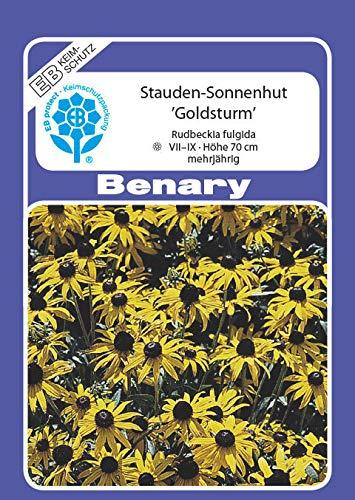 Benary - Goldsturm - Rudbeckia fulgida