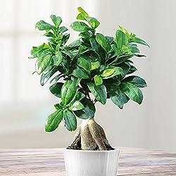 Ficus Bonsai - 1 pflanze