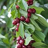 Cerisier Prunus avium Sylvia - 1 arbre