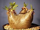 Pachypodium horombense - Caudexpflanze - 3 Samen