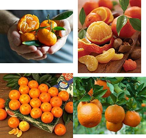FERRY Bio-Saatgut Nicht nur Pflanzen: Satsuma, Owari: Verpflanzen Tangerine 32