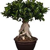 "Amazon.de Pflanzenservice Lorbeer-Feige, Chinesische Feige, Ficus microcarpa, Ficus ""Ginseng"", Zimmerbonsai, 8 cm Topf, 1 Pflanze, 10 - 20 cm hoch, 8 cm Topf, Zimmerpflanzen -"