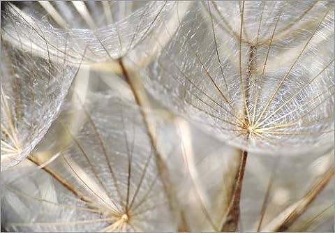 Forex-Platte 40 x 30 cm: Pusteblume natur von Julia
