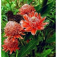 Suchergebnis Auf Amazon De Fur Exotische Pflanzen Und Samen Rose