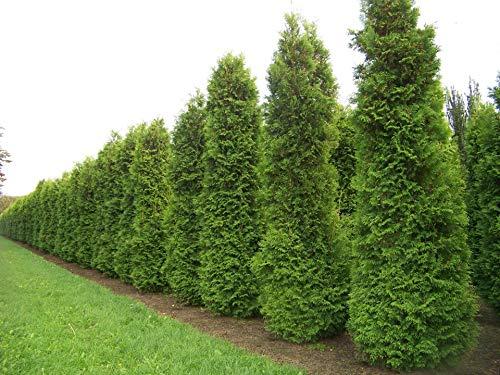 150 Samen Abendländische Lebensbaum (Thuja Occidentalis)