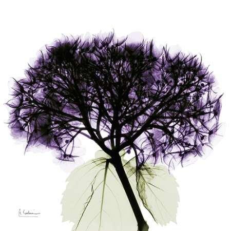 Feeling at Home Feelingathome-Leinwand-Bild-Lila-Hydrangea-Close-up-cm81x81-Kunstdruck-auf-Leinwand - Hydrangea-bilder Lila