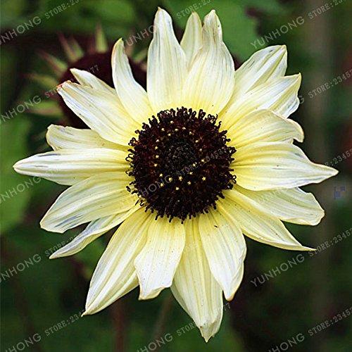 Bloom Green Co. 20 Pcs/Bag Sunflower Bonsai For Planting Bonsai Flower Sunflower Bonsai 10 Colours Natural Growth For Home Garden Planting: 8