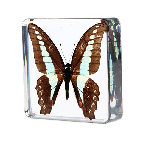 D DOLITY Kreatives Insekt Exemplar Echtes Insekt Briefbeschwer Sammlung Geschenk - Graphium Sarpedon
