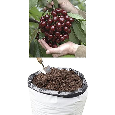 Cherry Tree 'Stella' 1.4M 5L on dwarf rootstock with 80L Compost for planting outdoors