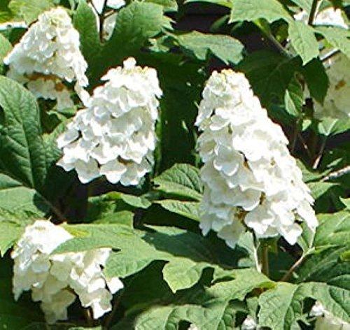 Eichenblättrige Hortensie Snow Queen 40-60cm – Hydrangea quercifolia