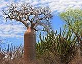3x Adansonia fony Baobab Affenbrotbäume Baum Pflanze Samen Winterhart Neu B516