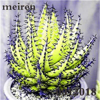 Plentree Pacchetto semi: 100 pezzi Succulente Aloe Bonsai Rare Polyphylla rotazione Aloe Vera regina Bonsai Piante grasse per la casa e amp; Giardino: 8