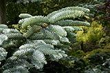Portal Cool Abies Procera [Syn. Nobilis] (Edel-Tanne) - 25 Samen. Groß für Weihnachtsbäume