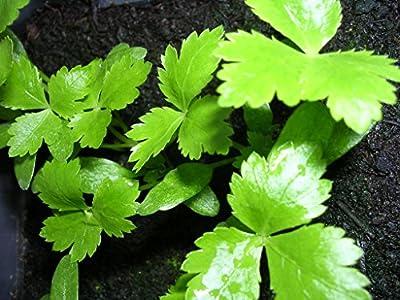 Kräuterey : Petersilie japanische - Mitsuba - Cryptotaenia japonica - Pflanze - Bioland von Kräuterey bei Du und dein Garten