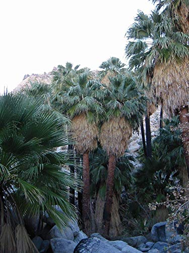 Potseed Wüste Fan Palm - Washingtonia Filifera - 10 Seeds - Tropicals