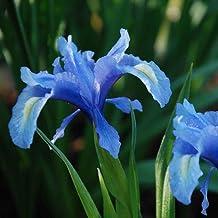 Plant World Seeds - Iris Aucheri Seeds