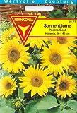 Zwerg Sonnenblume, Kleine Sonnenblumen, Pacino Gold, ca. 20 Samen