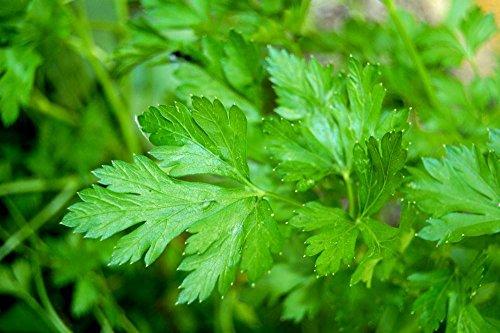 lot-de-50-graines-persil-commun-plante-aromatique