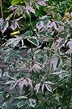 bunter Eschenahorn Acer negundo Flamingo 60-100 cm hoch im 5 Liter Pflanzcontainer