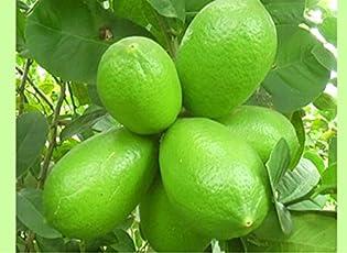 Vamsha Nature Care Live Kagzi Nimboo/Lemon 1.5-2ft