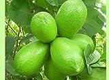 #7: Live Kagzi Nimboo - Kagji Lemon (Bangladesh Variety) 1.5 Feet to 2 Feet Height