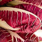 Chicoree rot - Rossa di Treviso precoce - frühe Sorte - 200 Samen